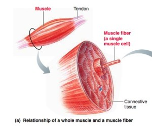 how_muscles_work